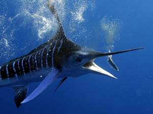 marlin deep sea fishing costa rica