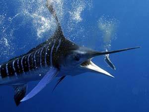 marlin deep sea fishing costa rica