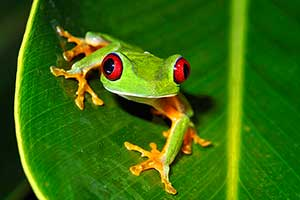 costa-rica-frog-on-leaf